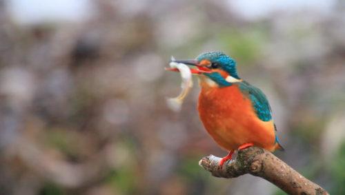 fugl-fra-film-med-fisk